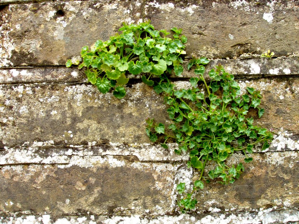 Wall Weeds, CCO. Foto: Auntie P.